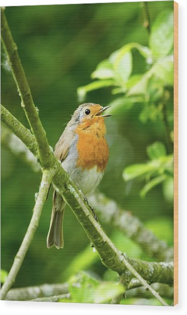 Robin Singing Wood Print