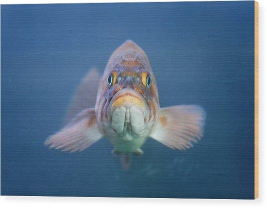 Rock Fish, Bodega Bay, Ca Wood Print
