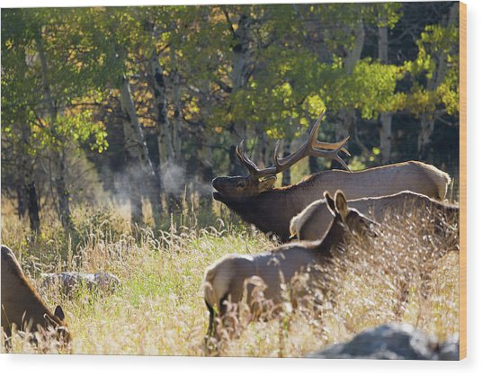 Wood Print featuring the photograph Rocky Mountain Bull Elk Bugeling by Nathan Bush