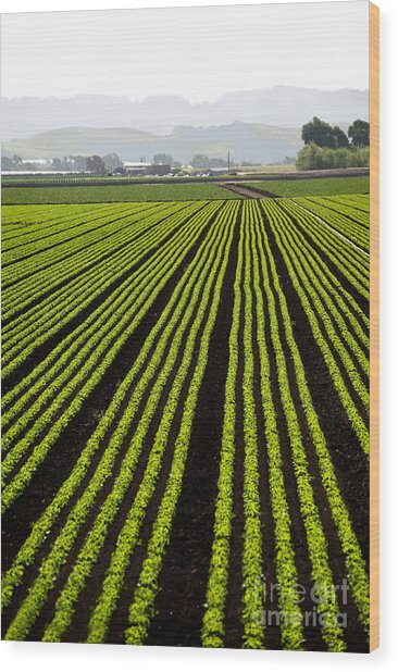 Rows Of Freshly Planted Lettuce In The Wood Print by Dwight Smith