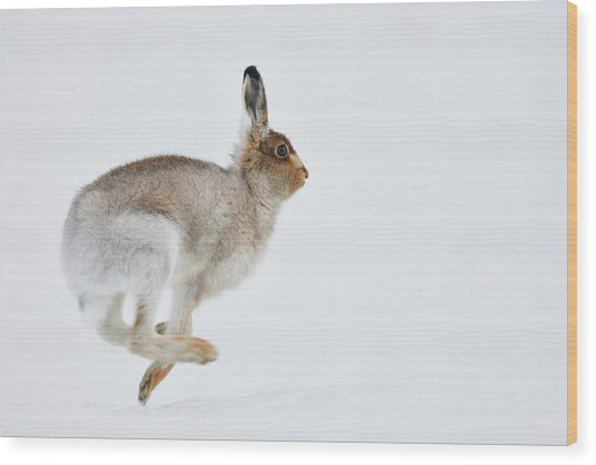 Running Mountain Hare Lepus Timidus Wood Print
