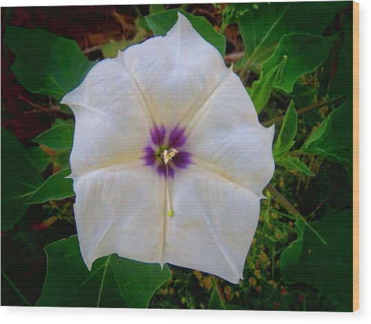 Wood Print featuring the photograph Sacred Datura - Full Bloom by Judy Kennedy