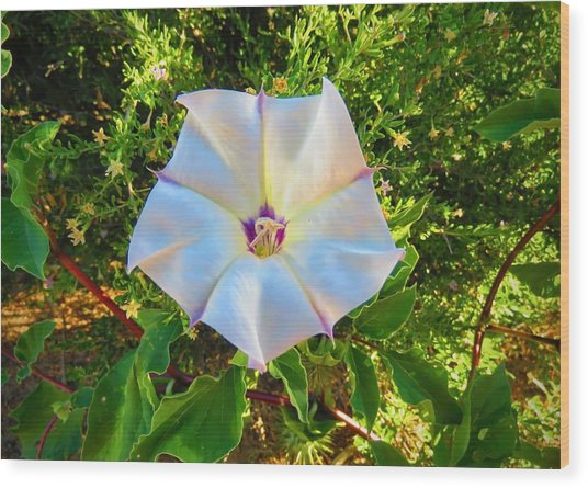Wood Print featuring the photograph Sacred Datura In The Golden Hour by Judy Kennedy