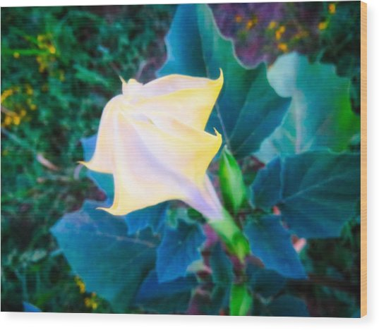 Wood Print featuring the photograph Sacred Datura - Partial Bloom by Judy Kennedy