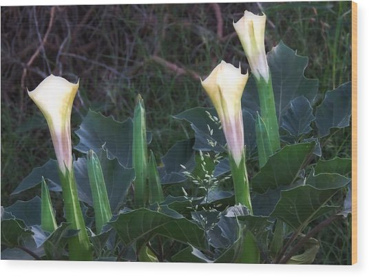 Wood Print featuring the photograph Sacred Datura Trio - Partial Blooms by Judy Kennedy