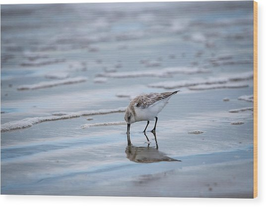 Sanderling Foraging Wood Print