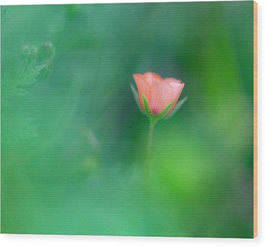 Scarlet Pimpernel Wood Print