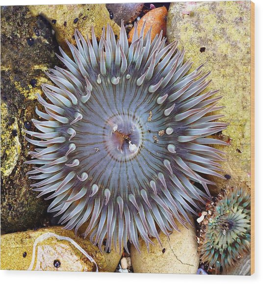 Sea-flower - Anemone Wood Print