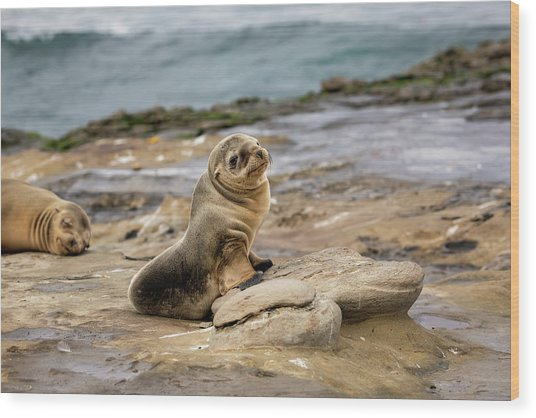 Sea Lion Pup Wood Print by K Pegg