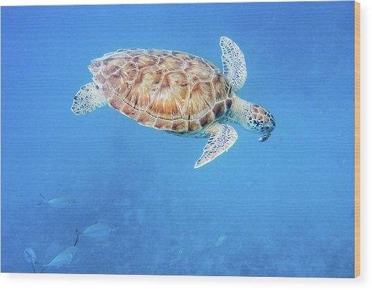 Sea Turtle And Fish Swimming Wood Print