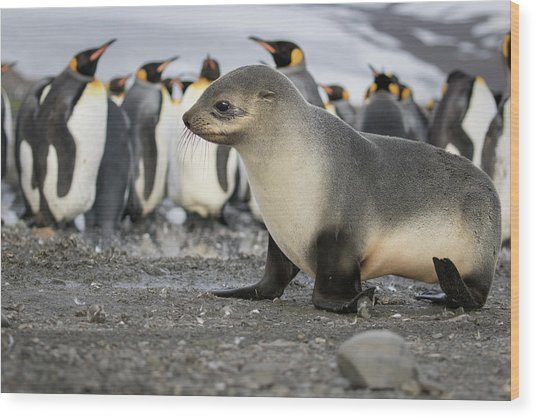 Seal Pup With King Penguins On Beach Wood Print by Tom Norring