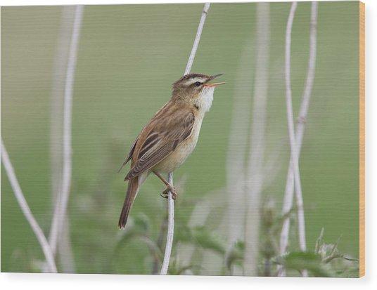 Sedge Warbler - Acrocephalus Wood Print by Mark L Stanley