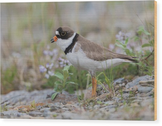 Semipalmated Plover Calling, Creek Bed Wood Print by Ken Archer