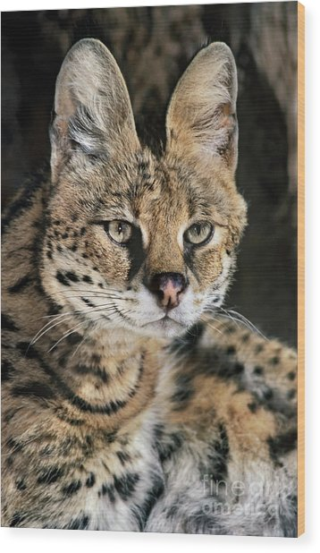Serval Portrait Wildlife Rescue Wood Print