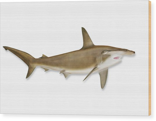 Shark With Clipping Path Wood Print by Georgepeters