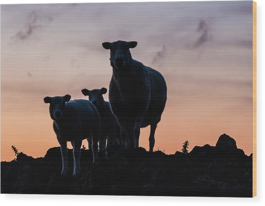 Wood Print featuring the photograph Sheep Family by Anjo Ten Kate