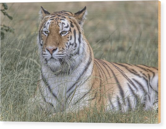 Shere Khan Wood Print
