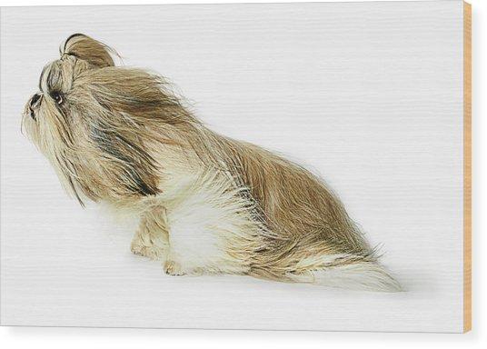 Shih-tzu Dog Fur Blowing In The Wind Wood Print