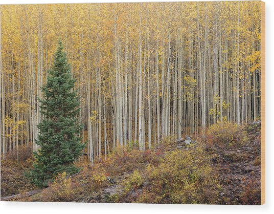 Shimmering Aspens Wood Print