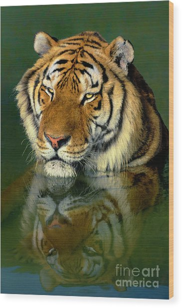 Siberian Tiger Reflection Wildlife Rescue Wood Print