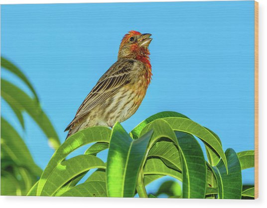 Singing House Finch Wood Print