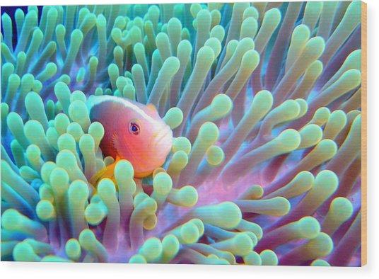 Skunk Clownfish And Sea Anemone Wood Print