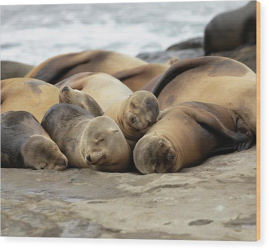 Sleeping Sea Lions Wood Print by K Pegg