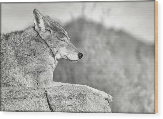 Sleepy Coyote Wood Print