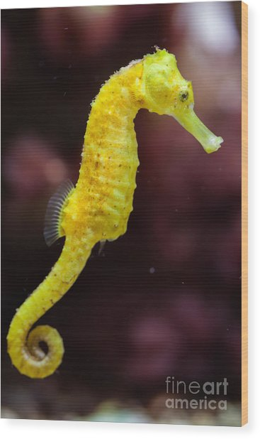 Slender Seahorse Hippocampus Reidi Wood Print