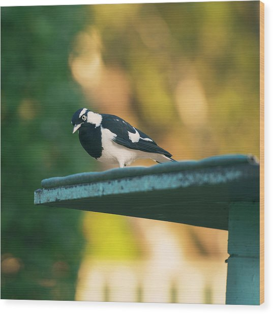 Small Magpie Lark Outside In The Afternoon Wood Print