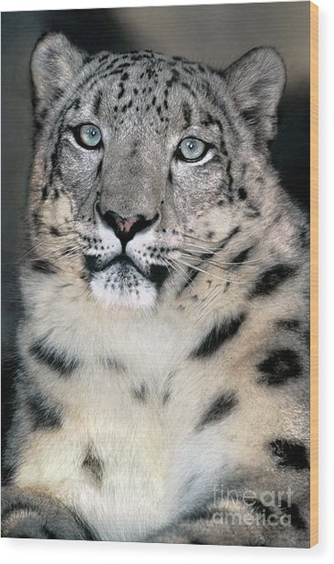 Snow Leopard Portrait Endangered Species Wildlife Rescue Wood Print