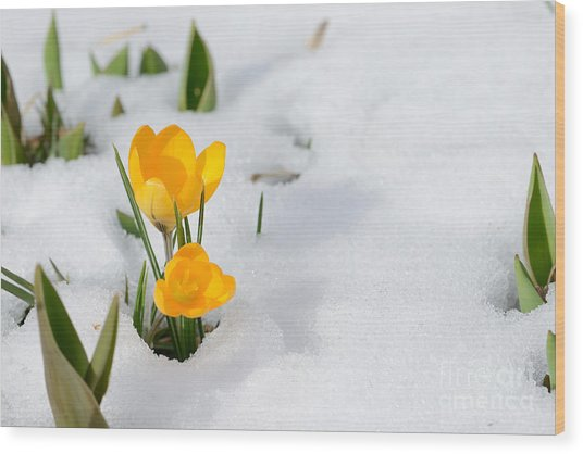Snowdrops Crocus Flowers In The Snow Wood Print