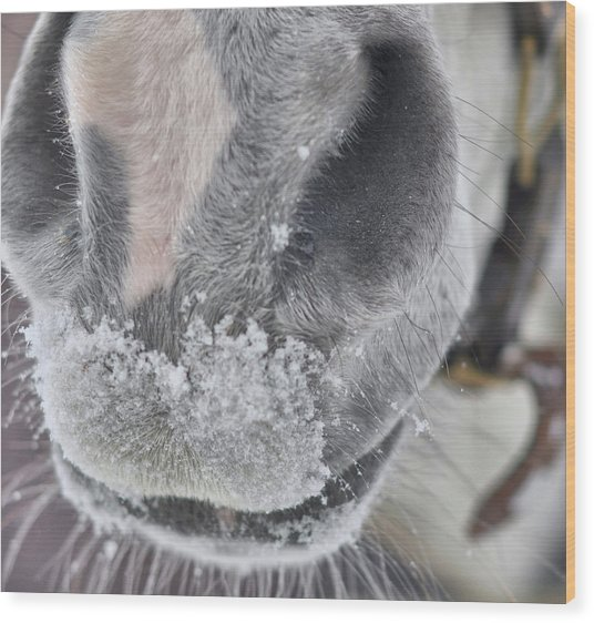 Snowy Muzzle  Wood Print by JAMART Photography