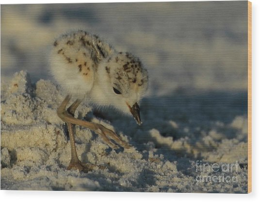 Snowy Plover On The Hunt Wood Print