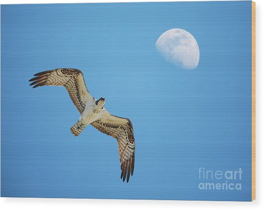 Soaring Osprey And Gibbous Moon Wood Print