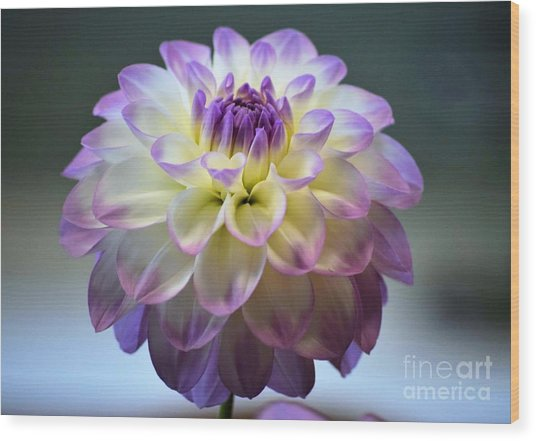 Wood Print featuring the photograph Soft Focus Dahlia by Patti Whitten