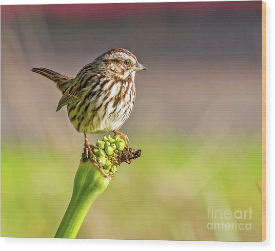 Songster Perching Wood Print