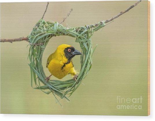 Southern Masked Weaver Building Nest Wood Print