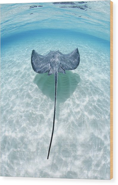 Southern Stingray Cayman Islands Wood Print by Justin Lewis
