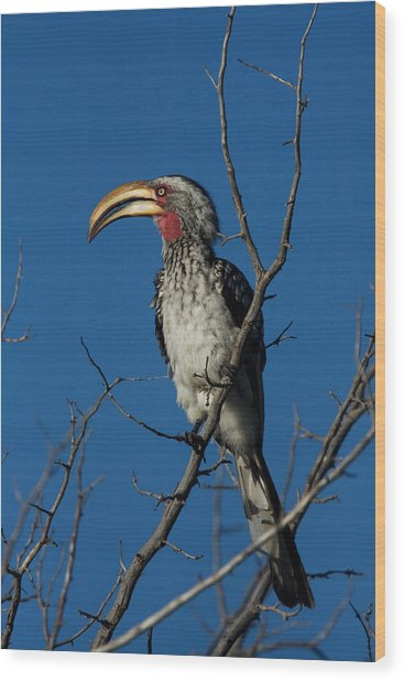 Southern Yellow-billed Hornbill Wood Print by David Hosking