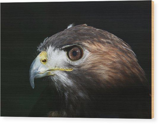 Sparkle In The Eye - Red-tailed Hawk Wood Print