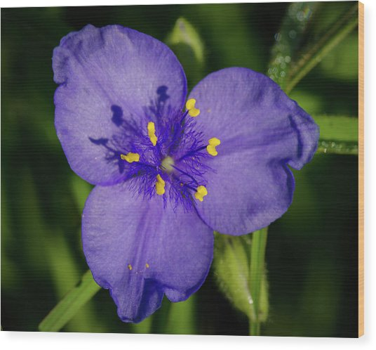 Spiderwort Flower Wood Print