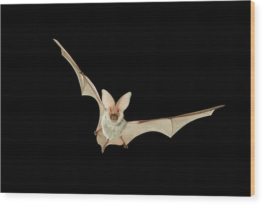 Spotted Bat Euderma Maculatum Flying At Wood Print by Michael Durham/ Minden Pictures