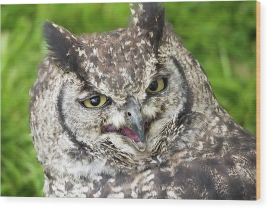 Spotted Eagle Owl Spotted Being Not So Stern Wood Print
