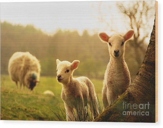 Spring Lambs Wood Print by Drew Rawcliffe