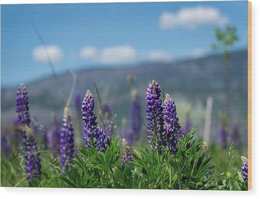 Spring Lupines Wood Print