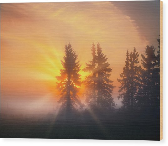Spruce Trees In The Morning Wood Print