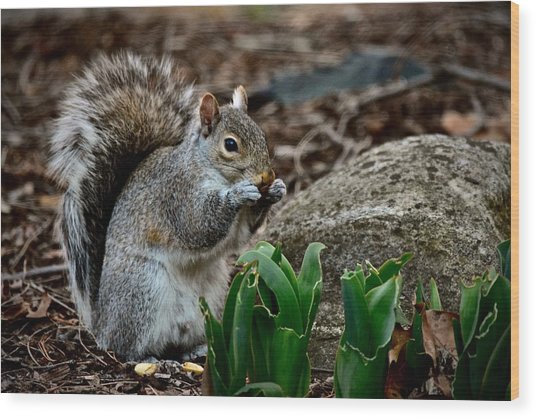 Squirrel And His Dinner Wood Print