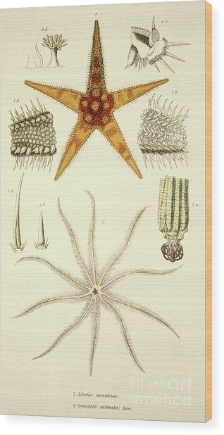 Starfish  Asterias Aurantiaca And Comatula Carinata Wood Print