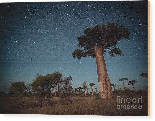 Starry Sky And Baobab Trees Highlighted Wood Print